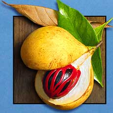 Nutmeg in the Banda Islands